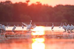 Great egrets at sunset, Lemon Lake, Great Trinity Forest near Trinity River, Dallas, Texas, USA.