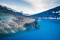 Two small fish hitch a ride in the bow wave caused by the enormous shark swimming behind them. Each whale shark carries a whole ecosystem wth it,  and provides shelter, food and mobility for many other species.