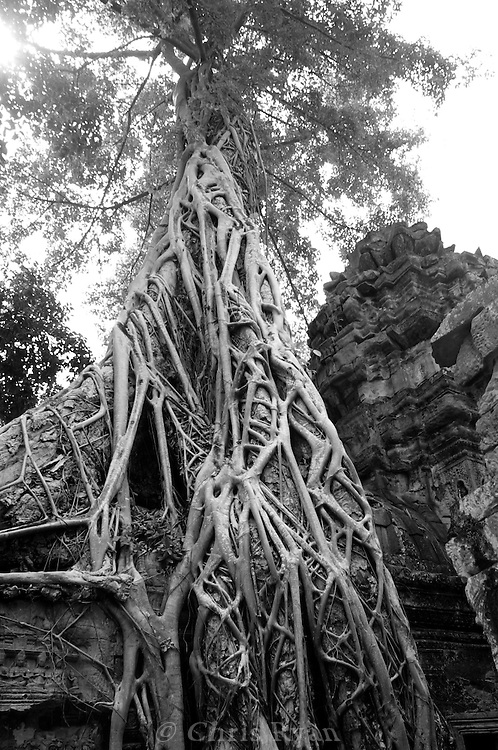 Roots, Bayon Temple, Cambodia