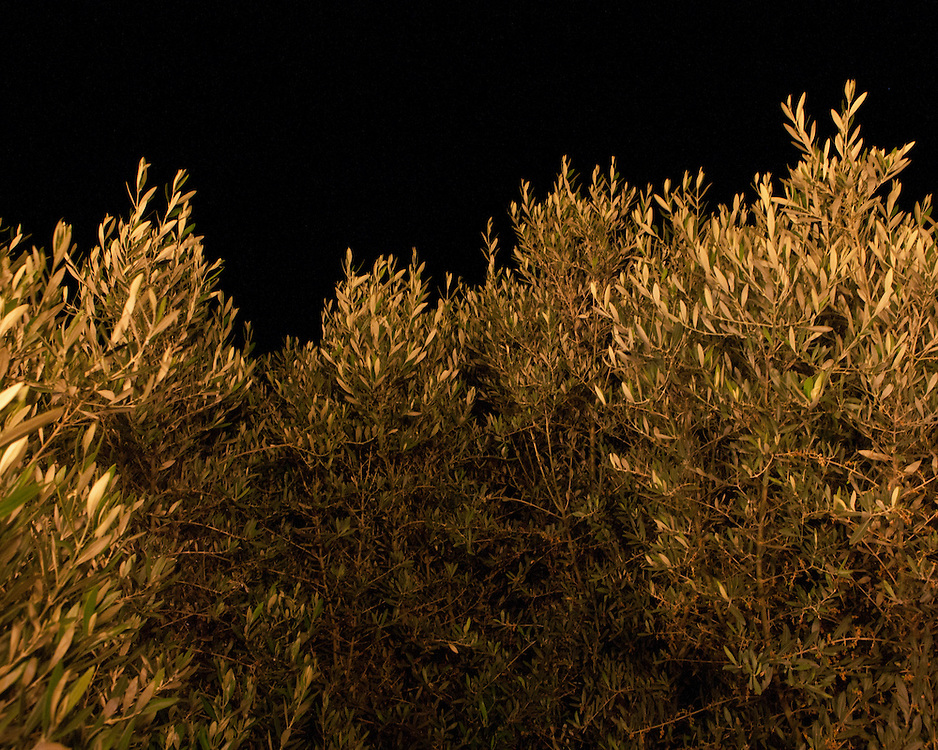 Olive trees at night
