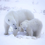Polar Bear(Ursus mari timus) Mother and cub watch over dying cub. Cape Churchill. Manitoba. Canada. Winter.