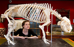 © Licensed to London News Pictures. 24/01/2013. London, UK. A Bonham's employee views the mounted skeleton of a pygmy hippopotamus (est. GB£10,000-15,000), of which only 2,000-3,000 animals are thought to survive in the wild, at the press view for the 'Bonham's Gentleman's Library Sale' in Knightsbridge, London, today (24/01/13). The sale, made up of weird, wonderful, rare and practical items, - all fit for a gentleman's library - is set to take place at 10am on the 24th of January at the auction house's Knightsbridge premises. Photo credit: Matt Cetti-Roberts/LNP