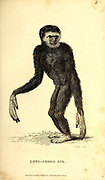 Long-armed Ape from General zoology, or, Systematic natural history Part I, by Shaw, George, 1751-1813; Stephens, James Francis, 1792-1853; Heath, Charles, 1785-1848, engraver; Griffith, Mrs., engraver; Chappelow. Copperplate Printed in London in 1800. Probably the artists never saw a live specimen