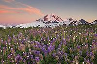 Mount Baker at sunset, seen from wildflower meadows on Skyline Divide, Mount Baker Wilderness Washington
