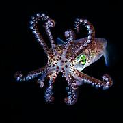 This is a bobtail squid (Euprymna morsei), known as mimi-ika in Japanese.