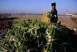 South Africa - Cape Town - 20 July 2020 - Ncumisa Mkabile has been praying and working hard and now it is time to harvest the fruits of her labour. The young Khayelitsha woman is in the agriculture industry and is promising freshly-produced spinach to Capetonians. She is  selling her spinach at a low price of R8 a bunch if you buy 30 or more. The  young Cape Town woman is embracing her skills as a farmer and making sure she provides for herself as she has begun selling spinach. The 27-year old Ncumisa Mkabile has been planting spinach on land in Khayelitsha. She employs 7 people  six of them are women and one man. Photographer Ayanda Ndamane African News Agency(ANA)