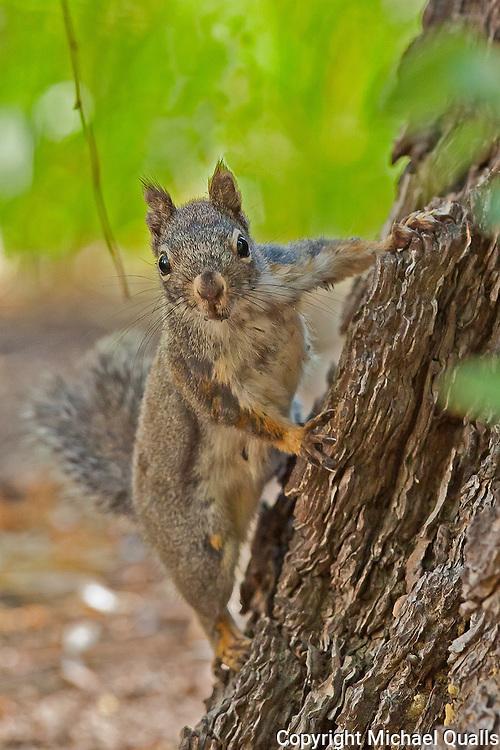 Douglas Squirrel (Chickaree) at Big Pine Creek