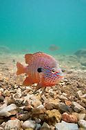 Longear Sunfish (male guarding nest)<br /> <br /> Isaac Szabo/Engbretson Underwater Photo