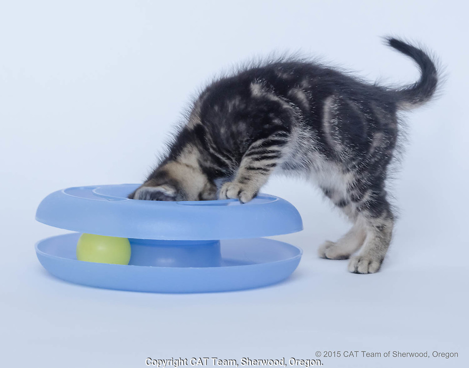 Young black striped kitten looking into blue toy