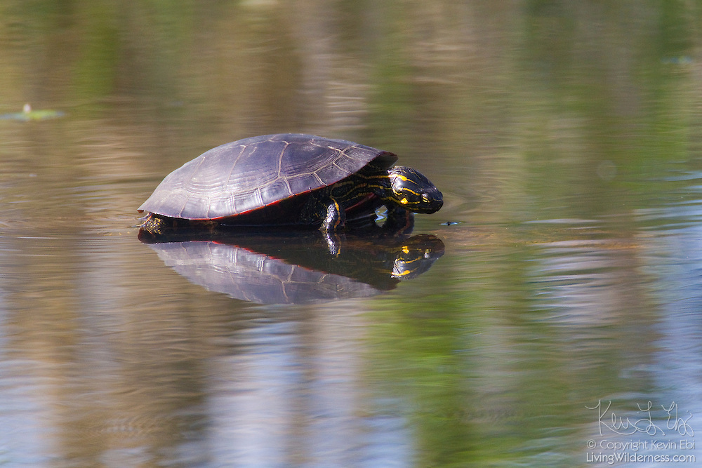 A painted turtle (Chrysemys picta) appears to check out its own reflection in a river in the Ridgefiled National Wildlife Refuge in Washington state.
