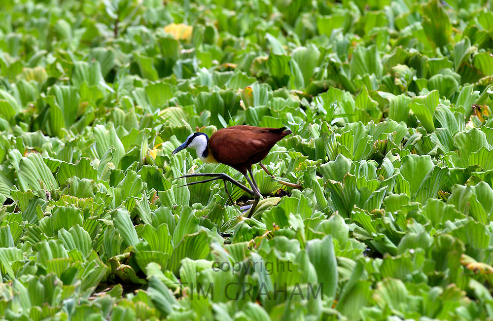 African Jacana bird walking on river cabbage, Grumeti, Tanzania, East Africa