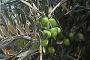 Israel, close up of olives, branches and leaves of an Olive tree
