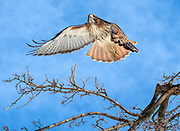 The red-tailed hawk  Pale Male is in Central Park, NYC.