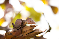 Chameleon brown coloration on branch. Lizard, stock images, Nature photography prints