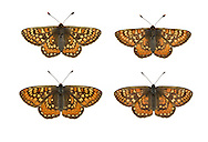 Marsh Fritillary - Euphydryas aurinia - male (top row) - female (bottom row). Wingspan 40-50mm. A rather lethargic butterfly, that is fond of basking in sunshine. Adult is beautifully marked with reddish-orange, buff and yellow; upperwings are more colourful than underwings. Flies May–June. Larva is black with tufts of spiny hairs; feeds on Devil's-bit Scabious and plantains. Widespread but very local on heaths and chalk grassland; mainly in southwest England and Wales, and southwest Scotland.
