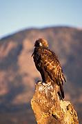 Golden Eagle Aquila chrysaetos, on rock observing, foothills near Denver, hunts mammals and birds from the air, bird of prey, found mountainous areas, talons  beak bill.