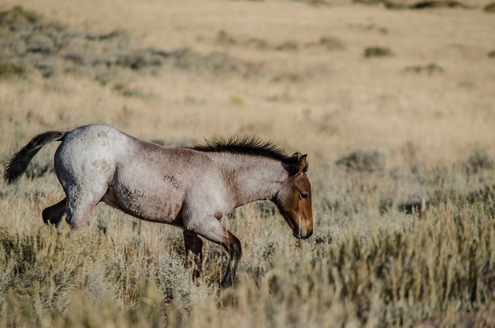"""Fine art photograph of young horse on a Wyoming landscape.<br /> <br /> AVAILABLE AS:<br /> <br /> Size 20"""" x 16"""" (50.8cm x 40.6cm approx)*<br /> Edition of ONLY 100 at this size.<br /> US$350 + shipping<br /> <br /> Hand printed in Taos, New Mexico, USA by Taos Print and Photography Services using archival inks and fine art paper. signed and numbered by hand.<br /> <br /> Contact jim@jimodonnellphotography.com to order"""