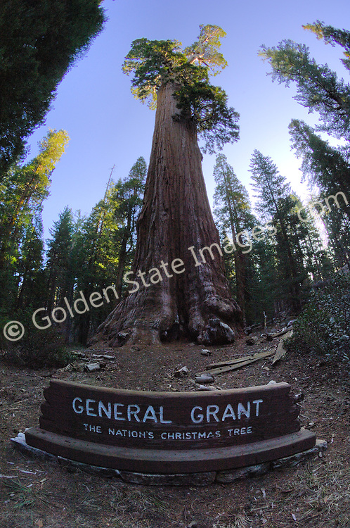 The General Grant is the largest Sequoia in the Grant Grove. The General Grant is estimated to be over 1650 years old. <br /> <br /> President Calvin Coolidge proclaimed it the Nations Christmas Tree in 1926. <br /> <br /> Each year a Christmas wreath is placed at its base in remembrance of those who gave their lives serving our country.    <br /> <br /> Species: Sequoiadendron giganteum