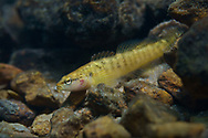 Fantail Darter<br /> <br /> Isaac Szabo/Engbretson Underwater Photography