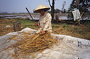 PEASANT FARMING, Malaysia. Woman beating rice from chaff, Kedah   state. World Bank funded  project. Poor farmers, peasants, planting, harvesting, cultivating rice padi.