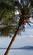 Palm tree, Kokopo Beach Bungalo Resort,  East New Britain, Papua New Guinea