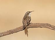Short-toed Treecreeper - Certhia brachydactyla
