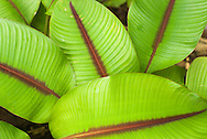 Leaf closeup, Hoomaluhia Botanical Garden, Honolulu, Oahu, Hawaii