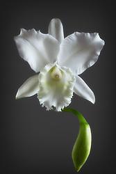 Cattleya, white #4.