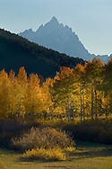 Golden autumn leaves on aspen trees in fall below Grand Teton mountain peak, Grand Teton National Park, Wyoming