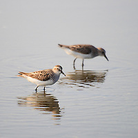 Two semipalmated sandpipers (Calidris pusilla) forage in a shallow pool near the Mispillion Inlet, Slaughter Beach, Delaware.