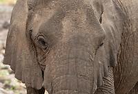 Close-up of an African Elephant, Loxodonta africana, in Lake Manyara National Park, Tanzania