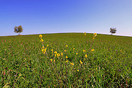 Two  trees in the grass fields on the hills nearby Ripa d'Orcia in Tuscany, Italy.