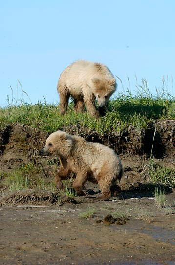 Alaskan Brown Bear, (Ursus middendorffi) . Katmai National Park. Alaska.