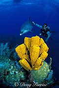 Spot, a wild sociable bottlenose dolphin, Tursiops truncatus, and divemaster Jason Belport investigate tube sponges, Aplysina fistularis, Cayman Islands ( Caribbean Sea ) MR 281