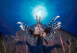 Armed with highly venomous fin spines, an Indian Lionfish, Pterois muricata, hovers near a fan coral. Similan Islands Marine National Park, Thailand, Andaman Sea