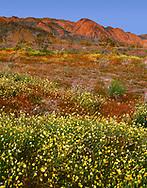 CADJT_110 - USA, California, Joshua Tree National Park, Sunset light on spring bloom of desert dandelion and Arizona lupine beneath the Cottonwood Mountains.