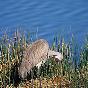 Sandhill Crane, (Grus canadensis) Female with chick on nest. Yellowstone National Park.