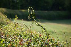 Black Bryony shoots in hedge near Perch Hill. Tamus communis
