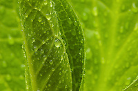 """""""Spring Rain"""".Water drops from spring rain coat an open leaf of a skunk cabbage.  Spring views at Walden Pond."""