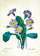 19th-century hand painted Engraving illustration of a Primrose grandiflora flower, by Pierre-Joseph Redoute. Published in Choix Des Plus Belles Fleurs, Paris (1827). by Redouté, Pierre Joseph, 1759-1840.; Chapuis, Jean Baptiste.; Ernest Panckoucke.; Langois, Dr.; Bessin, R.; Victor, fl. ca. 1820-1850.