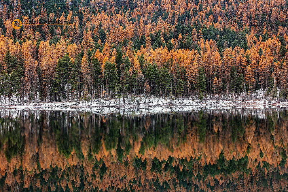 Late autumn larch reflects into Salmon Lake in the Lolo National Forest, Montana, USA