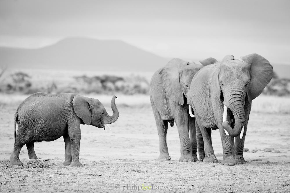 African elephants in Amboseli National Park, Kenya