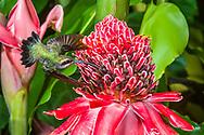 Green Hermit (Phaethornis guy) in flight, feeding on Torch Ginger (Etlingera elatior). Trinidad