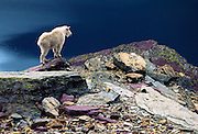 """A mountain goat surveys Hidden Lake in Glacier National Park, Montana, USA. The mountain goat (Oreamnos americanus, or Rocky Mountain Goat) is a large-hoofed mammal found only in North America. It is an even-toed ungulate in the family Bovidae, in subfamily Caprinae (goat-antelopes), in the Oreamnos genus, but is NOT a true """"goat"""" (or Capra genus). Since 1932, Canada and USA have shared Waterton-Glacier International Peace Park, which UNESCO declared a World Heritage Site (1995) containing two Biosphere Reserves (1976). Rocks in the park are primarily sedimentary layers deposited in shallow seas over 1.6 billion to 800 million years ago. During the tectonic formation of the Rocky Mountains 170 million years ago, the Lewis Overthrust displaced these old rocks over newer Cretaceous age rocks."""