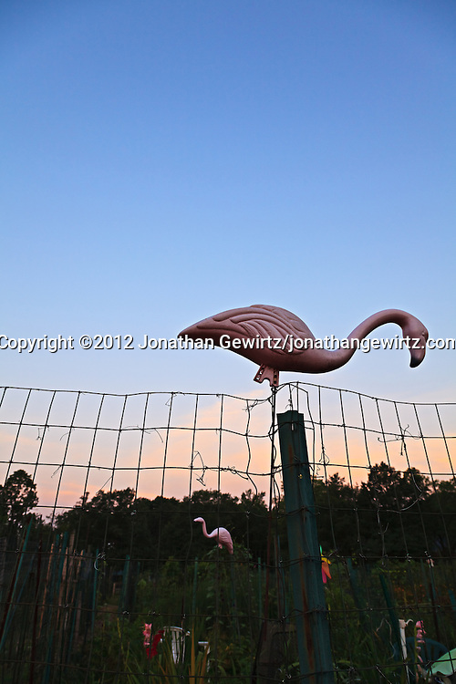 A plastic pink flamingo lawn ornament in a community garden. WATERMARKS WILL NOT APPEAR ON PRINTS OR LICENSED IMAGES.