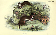 The least weasel (Mustela nivalis Here as Mustela Vulgaris), little weasel, common weasel, or simply weasel is the smallest member of the genus Mustela, family Mustelidae and order Carnivora. It is native to Eurasia, North America and North Africa, From the book ' A hand-book to the British mammalia ' by  Richard Lydekker, 1849-1915  Published in London, by Edward Lloyd in 1896