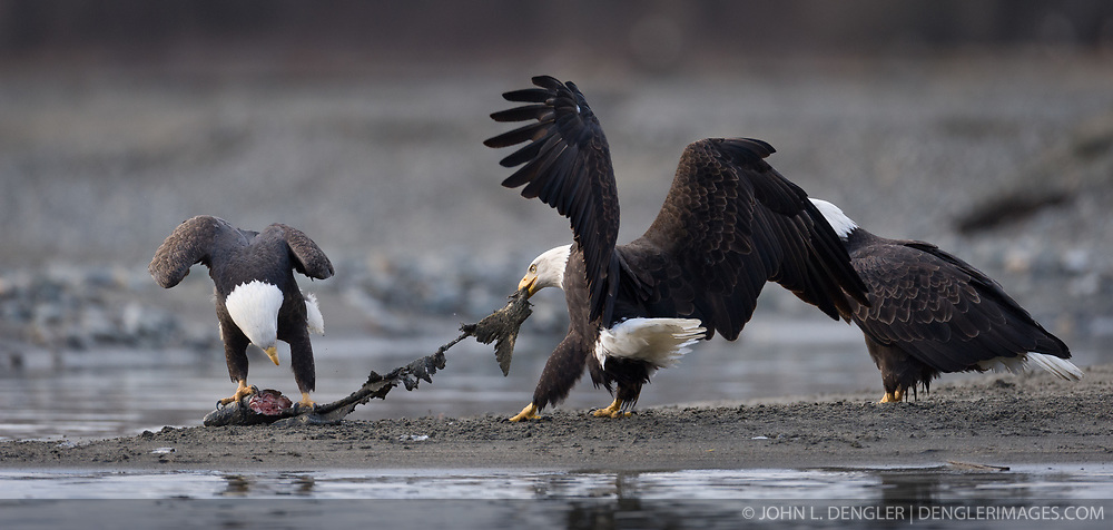 Bald eagles (Haliaeetus leucocephalus) feed on a salmon carcass along the Chilkat River in the Alaska Chilkat Bald Eagle Preserve near Haines, Alaska. During late fall, bald eagles congregate along the Chilkat River in the Alaska Chilkat Bald Eagle Preserve to feed on salmon in what is believed to be the largest gathering of bald eagles in the world.(Image 2 of 4 image sequence)