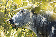 Longhorn cattle grazing sallow on the Knepp Estate. Sussex, UK.