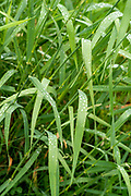 Photograph of grass on an overcast day with raindrops beaded up on the leaves.