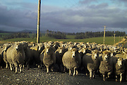 Flock of sheep on a country road in the Caitlins, Southland, New Zealand, near Waipapa. There's nearly 40 million head of sheep on New Zealand farms - a legacy of the great wool boom following the Korean War...